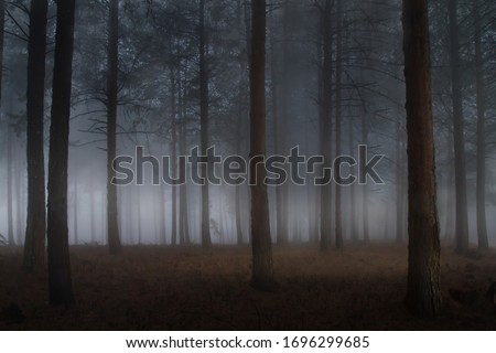 misty straight brown pine forest tree plantation with grass on a cold freezing winter morning