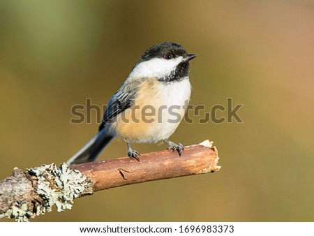 Black capped chickadee perched in Michigan #1696983373