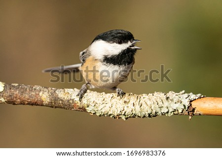 Black capped chickadee perched in Michigan #1696983376