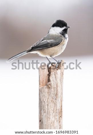 Black capped chickadee perched in Michigan #1696983391