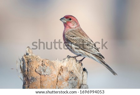 House finch perching in Michigan Royalty-Free Stock Photo #1696994053