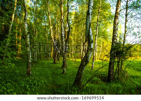 spring white birch grove and green grass #169699514
