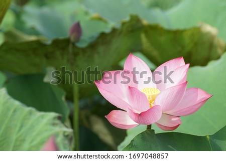 Nelumbo nucifera also known as Indian lotus or lily, Egyptian bean #1697048857