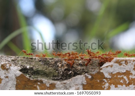 Fire ants in search of food