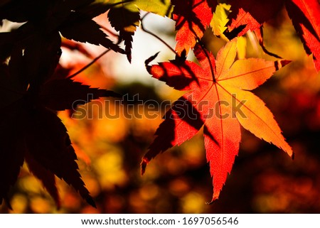 Japanese maple leaf in the warm sunlight on an Autumn day #1697056546