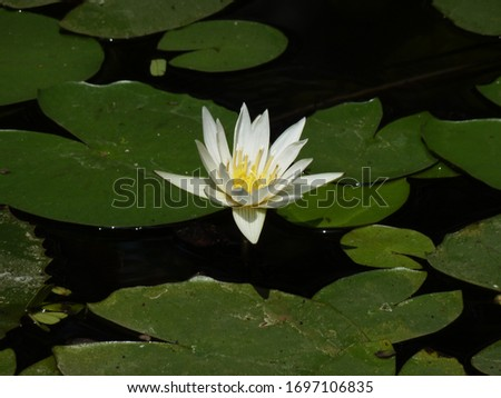 This is a picture of White Lily bloomed fully on a bright morning in a small lily pond.