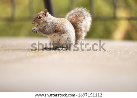 Picture of a funny and fluffy squirrel eating nuts on a patio. Cute mammal in the wildlife. Photo of a cutest animal in nature. Green spring park background