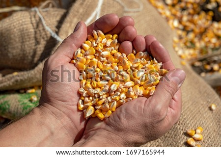 Handful of Harvested Grain Corn. Farmer's rough hands holding corn kernels above a linen sack loaded with freshly harvested grain corn. Close up of peasant's hands with corn grains.  #1697165944
