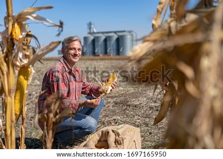 Smiling Farmer in Cornfield With Freshly Harvested Corn Cob Against Grain Silo. Happy Farmer with Corn Cob in his Hands Looking at camera. Farmer With Grain Silos at Harvest Time.  #1697165950