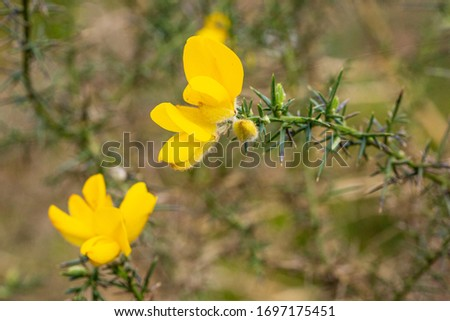 Close up of Common Gorse evergreen shrub, a species of Gorse also known as Furze, Western gorse or Whin.  #1697175451