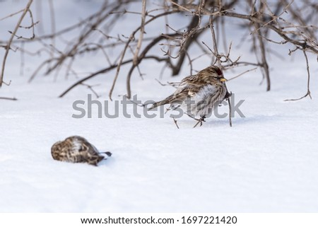 Dead common redpoll (Acanthis flammea) on the snow.