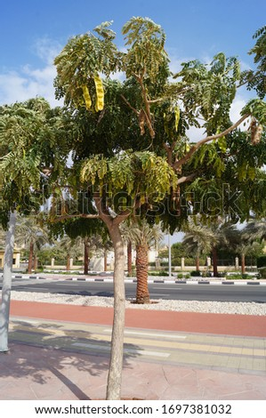 A tree with a small crown and long fruits near the highway on Al-Marjan Island. United Arab Emirates #1697381032