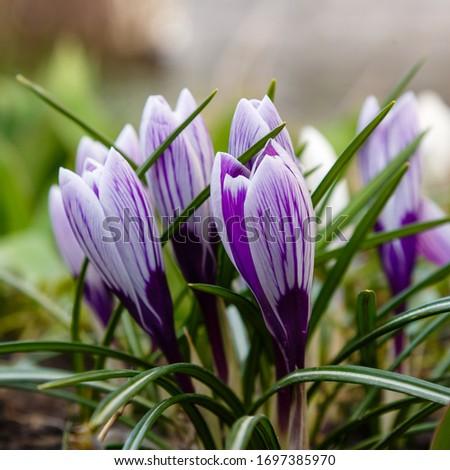 Flowering violet crocuses flowers in early spring. Purple crocus flowers, violet crocus in garden. Growing bulbs in the garden. #1697385970
