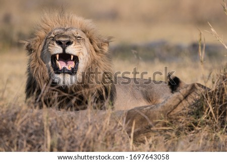 lions in Moremi National Park, Botswana #1697643058