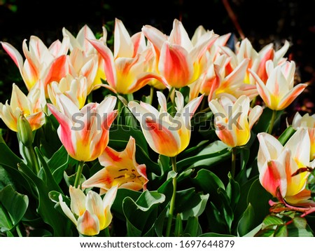 Two-toned yellow and pink early tulips bloom in the springtime #1697644879
