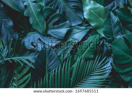 closeup nature view of green monstera leaf and palms background. Flat lay, dark nature concept, tropical leaf Royalty-Free Stock Photo #1697685511
