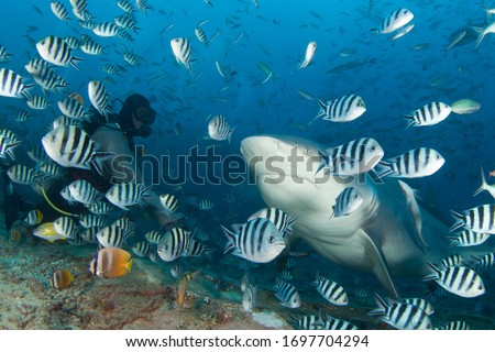 very big 4 meters long bull shark came close to a diver to take some tuna, close underwater shot, fiji