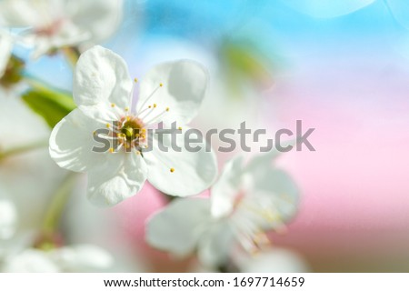 Selective blur, apple tree flowers in spring, delicate pastel background, white petals and yellow stamens on a blue background.  #1697714659