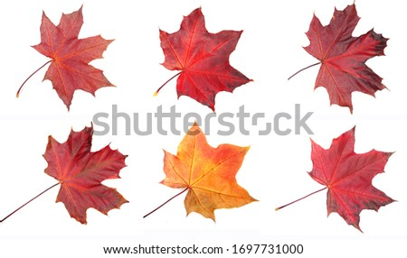 autumn maple red yellow leave isolated on white background   Royalty-Free Stock Photo #1697731000