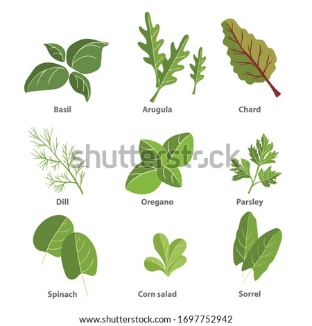 Popular culinary herbs set. Basil leaves, arugula, chard, dill, oregano, parsley, spinach, corn salad, sorrel. Vector simple design illustrations isolated on white background. #1697752942