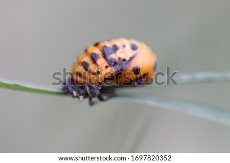 A Seven Spot Ladybird Larvae On His Life Cycle Selective Focus #1697820352