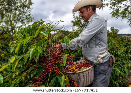 Guatemalan farmer collects his coffee crop on a plantation of Jalapa.