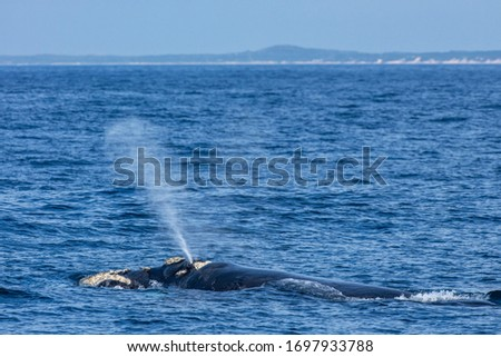 Southern right whale photographed in South Africa. Picture made in 2019.