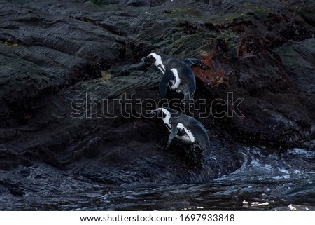 African penguin photographed in South Africa. Picture made in 2019.