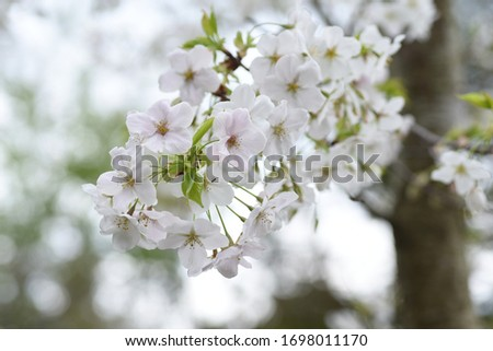 Cherry blossoms in full bloom / Japanese spring scenery. #1698011170