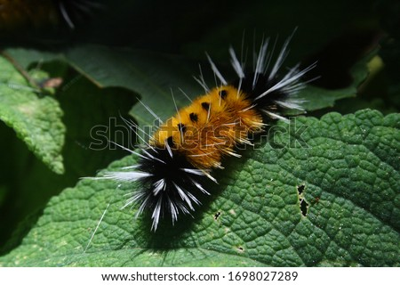 A fuzzy, orange and black tiger moth caterpillar (Lophocampa maculata) forages on leaves in the temperate rainforest of the Pacific Northwest. #1698027289