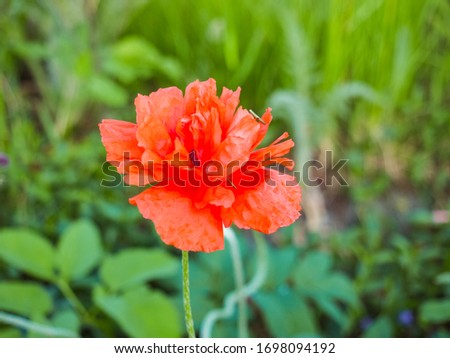 Blooming double poppy blossom in the blurred green grass background, close up. Red Poppy flower bloom in the field. Poppies are herbaceous flowering plant in the family Papaveraceae. Macro photography #1698094192