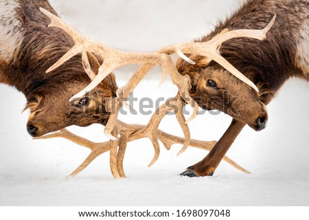 Bull elk sparring at the Gaylord Elk Park. Royalty-Free Stock Photo #1698097048
