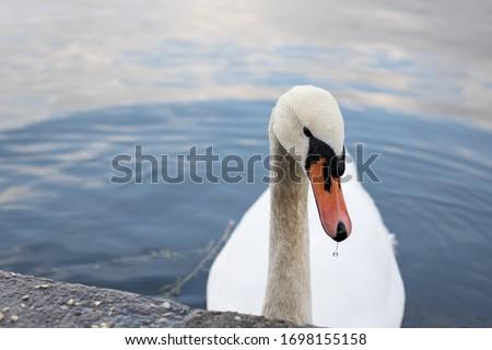 Swan at a sea in Berlin #1698155158