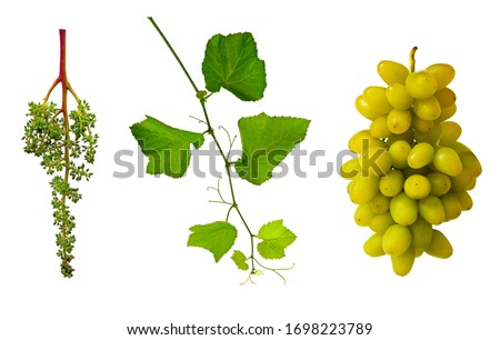 Grape flower buds, baby grapes.Young green branch of grapes. Grapevine with tendrils.  Grape seedlings on a vine. Close-up of grape vines. Green grapes. Growing grapes. #1698223789