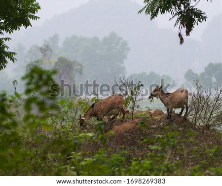 Goat on a mountain meadow at Ninh Bihn,Vietnam. 3 wild goats searching grass in the field.Wild animals in nature.Vietnam landscape. Goats in natural background #1698269383