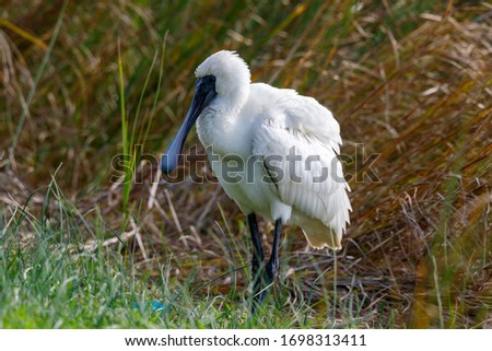 Royal Spoonbill in New Zealand #1698313411