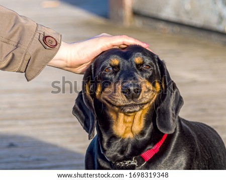 cute puppy Happy dog. smiling cute puppy dachshund. Funny and happy dog face. Female Hand Petting a Dog with a big smile. copys space for text. Image for wallpaper, desktop #1698319348