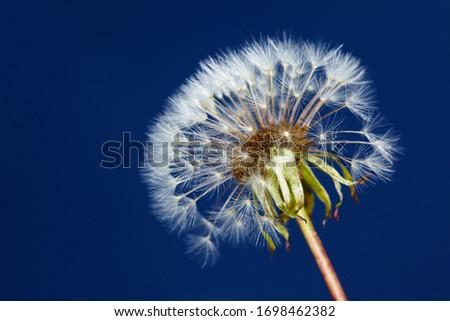 Common dandelion (Taraxacum sect. Ruderalia) with pappus #1698462382