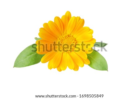 marigold flowers with green leaf isolated on white background. Calendula flower