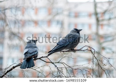 Two western jackdaws (Coloeus monedula) are sitting on the birch branch.  Close-up portrait of two black plumage  birds with blurred  multistory building on the background . Spring in the city. #1698555109