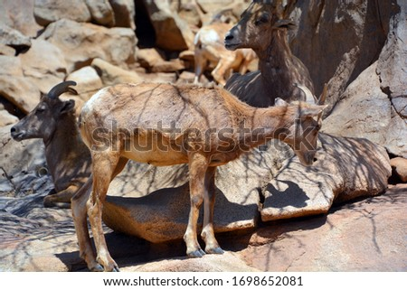 Desert bighorn sheep (Ovis canadensis nelsoni) is a subspecies of bighorn sheep (Ovis canadensis), that is native to the deserts of the Southwestern United States and Northwestern Mexico. #1698652081