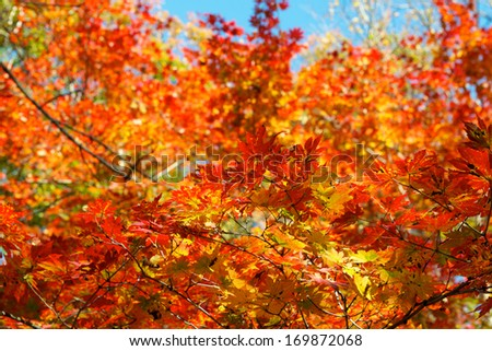 Colorful maple leaf background in autumn, Liaoning China #169872068