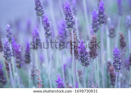 Lavender bushes closeup at dusk. Charming purple tone over the picture. From a garden in Brazil.