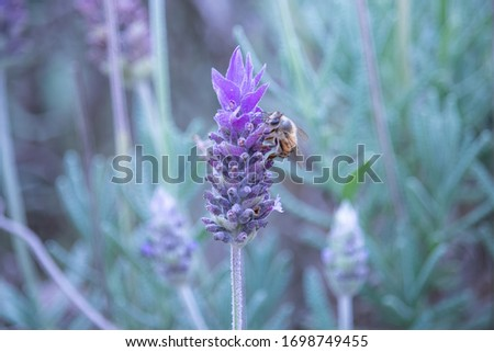 A honey bee on a lavender flower. Charming purple tone over the picture. From a garden in Brazil.