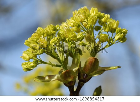 Buds opening into leaves and flowers  of a Field Maple Tree, Acer campestre, in springtime. #1698854317