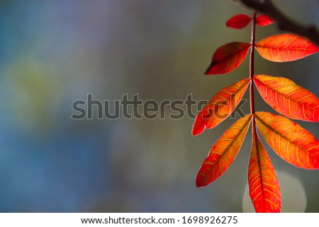 Western Soapberry Tree Leaves in Autumn Small Sprout Multiple Leaves in Red and Orange - Room for Text