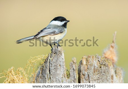 Black capped chickadee perched on  a snag. #1699073845