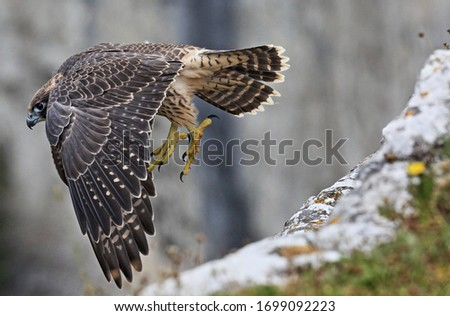 A juvenile peregrine falcon leaps off the cliff edge at Malham Cove, Yorkshire to practice its flying skills #1699092223