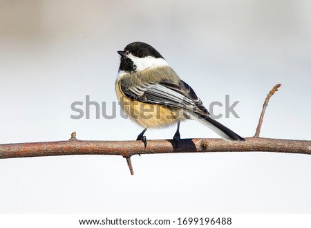 Black capped chickadee on branch. #1699196488