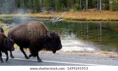 Bison walking along the road in Yellowstone National Park